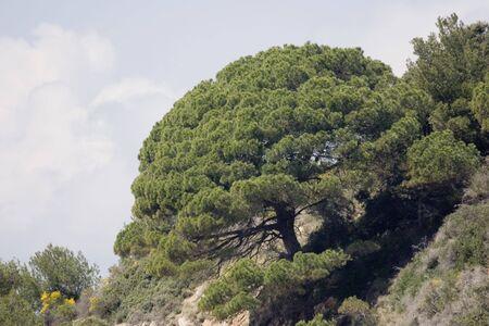 cusp: stone pine - survival on the cliffs - french riviera, mediterranean sea