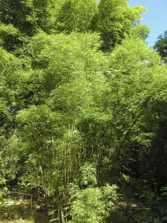 tropical evergreen forest: giant bamboo forest