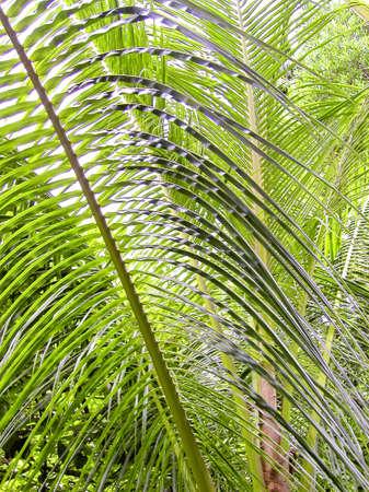 indies: palm leafs - tobago, west indies