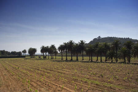 palm trees behind a vineyard  photo