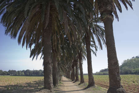 pedestrian walkway under palm trees - spring on french riviera  photo