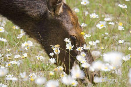 An elk cow eats daisies - Cervus canadensis in Jasper National Park, Alberta, Canada photo