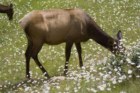 Elks grazing on a meadow - Cervus canadensis in Jasper National Park, Alberta, Canada photo