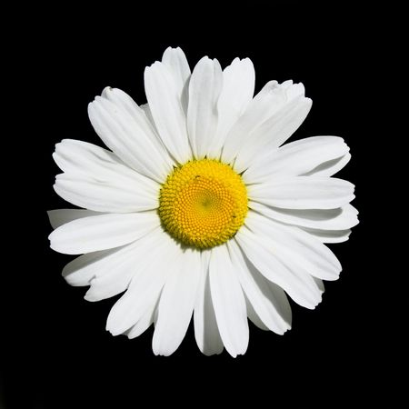 Wild Oxeye Daisy on Black - Leucanthemum vulgare - Wells Gray Provincial Park, British Columbia, Canada Stock Photo