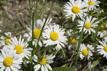 A patch of wild daisies - Wells Gray Provincial Park, British Columbia, Canada photo