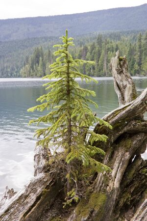 Lonely fir tree on driftwood - Clearwater Lake, Wells Gray Provincial Park, British Columbia, Canada photo