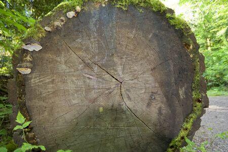 provincial forest parks: Fallen Douglas Fir – Pseudotsuga menziesii - Cathedral Grove, MacMillan Provincial Park, Vancouver Island, British Columbia, Canada Stock Photo