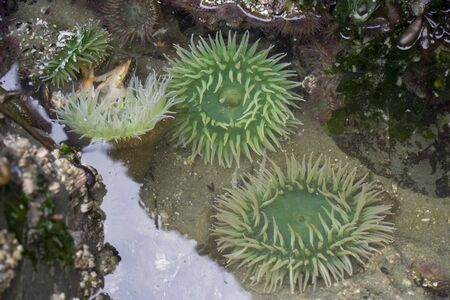 echinoderm: Giant Green Sea Anemones (Anthopleura Xanthogrammica ) and other marine life on rocks  at low tide Stock Photo