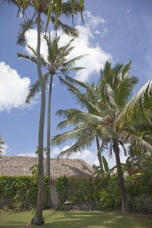 rarotonga: Palme da cocco con palme thatched Hut in un giardino tropicale - Cocos nucifera, Rarotonga, Isole Cook, Polinesia