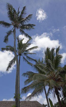 Coconut Palms with palm-thatched Hut - Cocos nucifera, Rarotonga, Cook Islands, Polynesia photo
