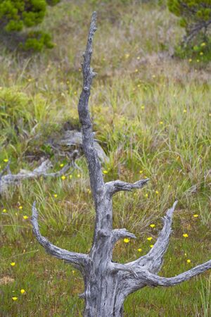 Deadwood in Bog - Shore Pines in Pacific Rim National Park, Vancouver Island, British Columbia, Canada photo