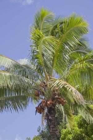 rarotonga: Di palme da cocco - Cocos nucifera, Rarotonga, Cook Islands, Polinesia