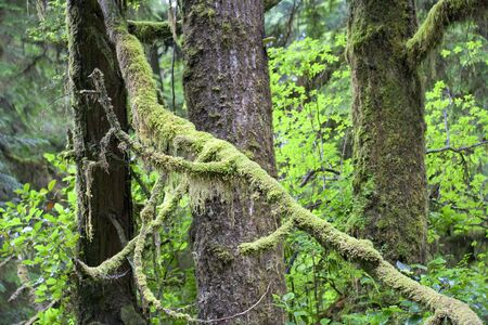 temperate: Fallen Tree with Moss and Lichen in temperate Rainforest - Pacific Rim National Park, Vancouver Island, British Columbia, Canada