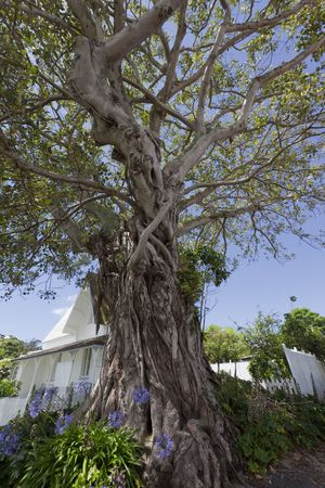 Moreton Bay Fig Tree, planted 1870 - Ficus macrophylla in front of Police Station in Russell, Bay of Islands, Northland, North Island, New Zealand photo