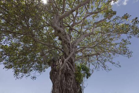 feigenbaum: Treetop der Moreton Bay Fig Tree, pflanzte 1870 - Ficus macrophylla in Russell, Bay of Islands, Northland, North Island, Neuseeland Lizenzfreie Bilder