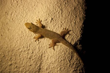 rarotonga: Casa Gecko su muro - Hemidactylus frenatus a Rarotonga, nelle Isole Cook, Polinesia Archivio Fotografico