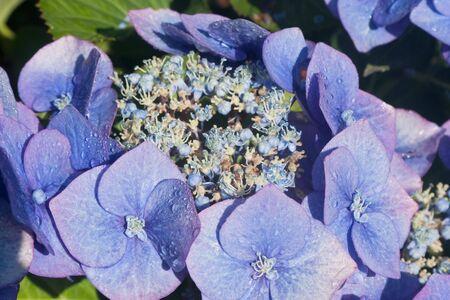 Blue Hydrangea close-up - Hydrangea macrophylla in bloom Stock Photo