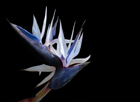 Wit Paradijsvogel geïsoleerd op zwart Stockfoto