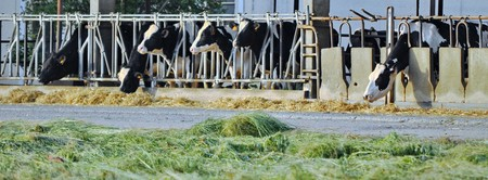 Row of feeding dairy cows in a stable on a farm, with shallow depth of field