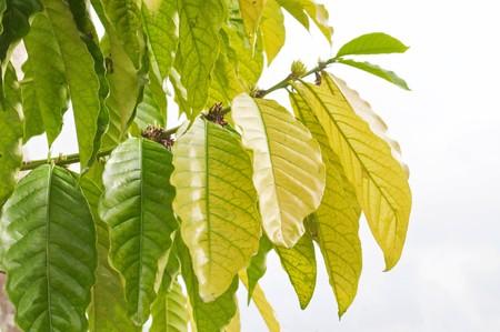 Fresh green tobacco leaves on white background