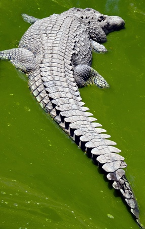 Crocodile sleeping in a green dirty water puddle photo