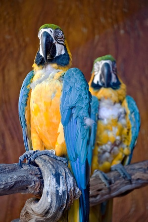 Wild blue and yellow macaw watching the camera Stock Photo - 8475990