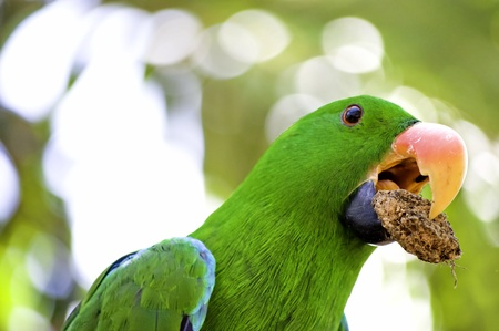 peck: Green Macaw parrot with food in his peck
