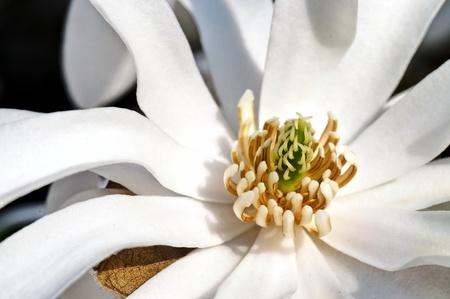 pistils: White magnolia flower pistils detail in spring blooming