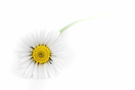 White daisy lighted, isolated on white background Stock Photo