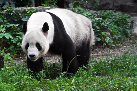Big chinese panda in zoo park, China photo