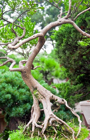 bonsai tree: Bonsai tree in chinese garden, with twisted roots and branches