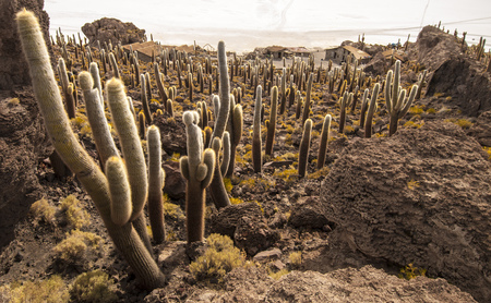 incahuasi: Cactuses in Isla Incahuasi, Salar the Uyuni salt lake, Bolivia Stock Photo