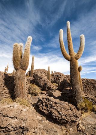 incahuasi: Cactus in Isla Incahuasi, Salar the Uyuni salt lake, Bolivia