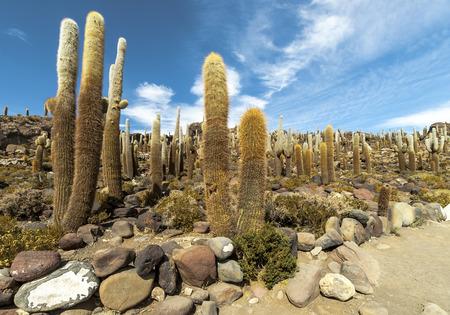 incahuasi: Group of Cacti on Isla Incahuasi, Salar the Uyuni salt lake, Bolivia