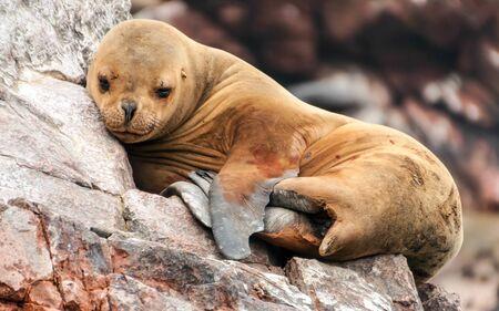lion cub: Sea lion cub sleeping on a rocky shore