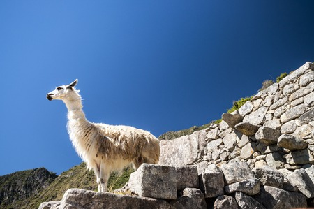 llama: llama standing in Macchu picchu ruins on deep blue sky