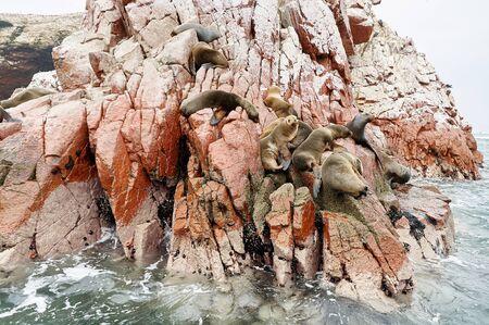 islas: sea lion on rocke formation looking at the camera. Islas Ballestas, Paracas national reserve, Peru.