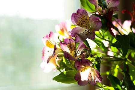 Alstroemeria flowers bouquet on light window background
