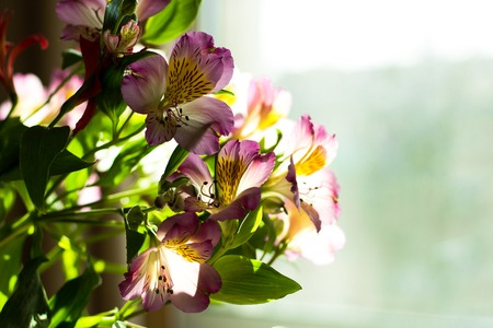 Alstroemeria flowers bouquet on light window background