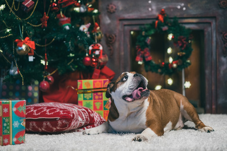 pet new years new year pup: lovely english bulldog dog in christmas time