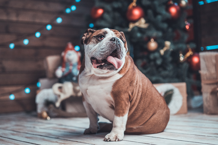 English bulldog with gifts uner xmas tree