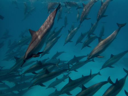 A flock of dolphins underwater with sunlight Stock Photo