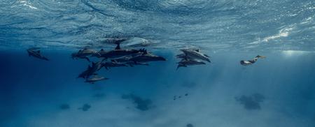 Un apneista junto con delfines en el mar Rojo.