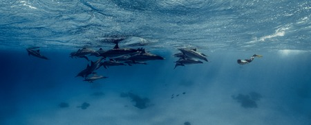 A freediver swims with dolphins in Red sea