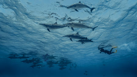 A freediver swims with flock of dolphins
