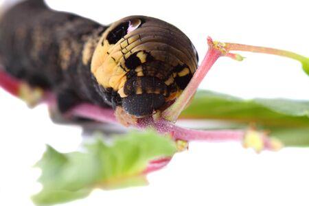 deilephila: Elephant Hawk Moth caterpillar isolated on a plant Stock Photo