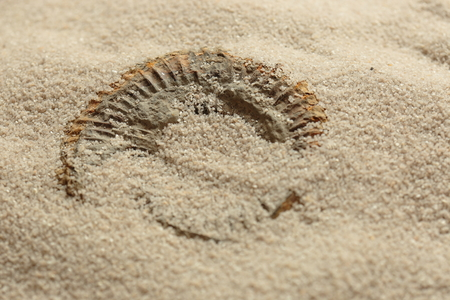 Ammonite fossil being revealed in sand