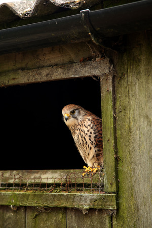 Female Eurasian Kestrel, Falco tinnunculus,  perched on the sill of an old barn shed