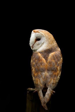 Barn Owl, Tyto alba, on a post isolated on a black background
