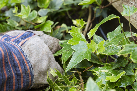 Gardener with gloves pulling out overgrown ivy from a garden border 版權商用圖片